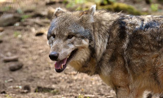Vlci, plaché šelmy
