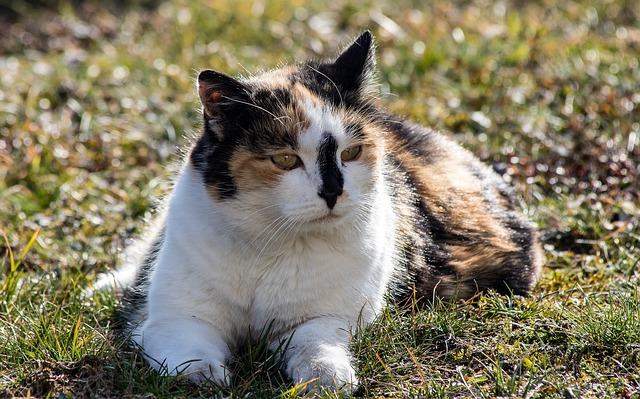 strakatá kočka